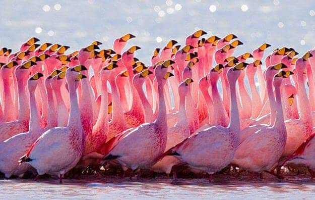 Фламинго, Боливия
