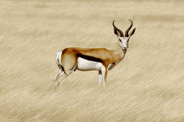 COMMON SPRINGBUCK