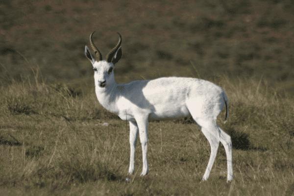 WHITE SPRINGBUCK